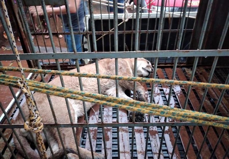 Onça-parda foi sedada com tranquilizantes para ser retirada de árvore. (Nova News)