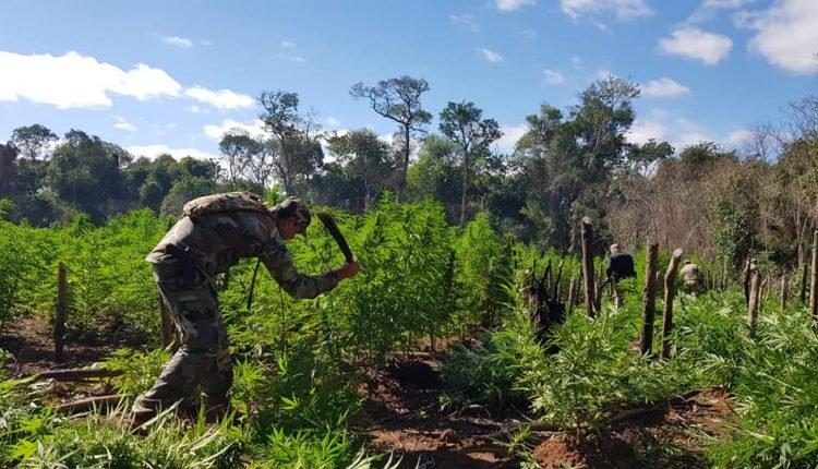 Policial paraguaio destrói plantação de maconha. Foto: Divulgação