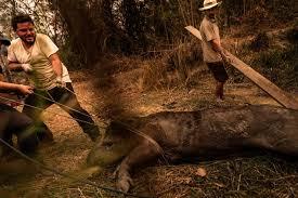 Anta debilitada por causa do incêndio no Pantanal sul-mato-grossense (Foto: Gustavo Basso - MS)